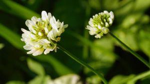 Valkoapilan kukka
