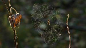 Hämähäkki on raytasverkossa pää alaspäin.