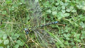 Sudenkorento nurmikolla