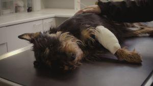 Koira makaa eläinlääkärin hoitopöydällä sidos etujalassa.