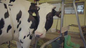 Ruskeavalkoinen lehmä navetassa.