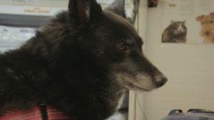 Tumma pystykorvainen koira lähikuvassa  sivulta.