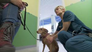 Eläinlääkäri Mari Vainionpää tutkii Pippa-koiraa