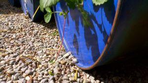Jordgubbsreva växer ut från jordgubbsplanta