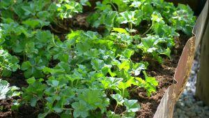 Nyplanterade hjortronplantor