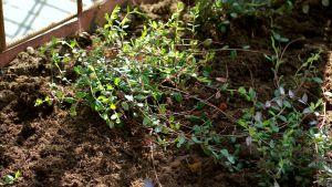 Tranbärsplanta med långa revor av små blad