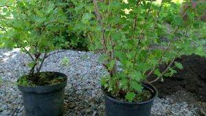Två krusbärsbuskar i kruka