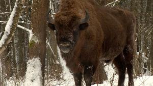 Det finns cirka 600 visenter på den polska sidan av skogen.