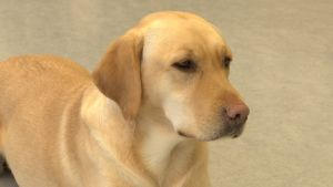 Närbild på en gul labrador retriever.