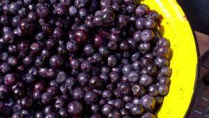 Skogsblåbär i gult durkslag