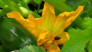 Zucchiniplanta