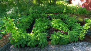 Rehevä kasvimaa Strömsön puutarhassa.