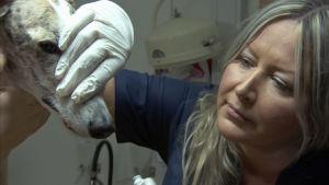 Tanja Hakkarainen är veterinär vid Evidensia och importerar spanska vinthundar. De blir ofta övergivna eller dödade efter jaktsäsongen i Spanien.
