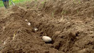 Mandelpotatis sätts i jorden
