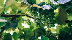 Vihreitä viinirypäleitä kasvaa puussa.