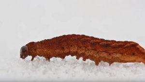 Jättiläistoukka lumihangella