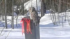 Pöllö roskapöntön reunalla.