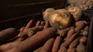 morötter, kålrot och potatis