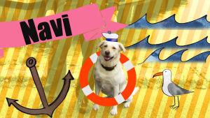 Labradorinnoutaja Navy