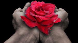Kädessä punainen ruusu