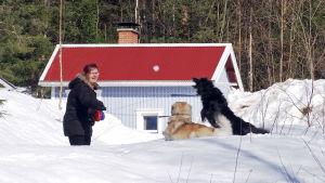 Anitta Piiroinen heittelee koirilleen lumipalloja Joensuussa.