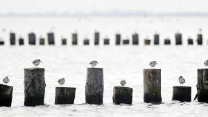 Lintuja istumassa vedessä olevien puutolppien päällä.