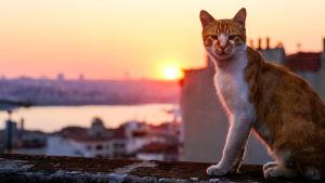 Kissa Istanbulin auringonlaskussa, kuva elokuvasta Istanbulin kissat (Kedi)
