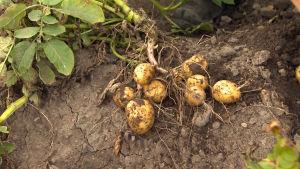 Potatis med blast ligger i myllan.