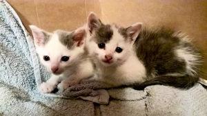 De två upphittade kattungarna i Kotka.