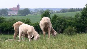Brandenburg hör till Tysklands vargtätaste områden