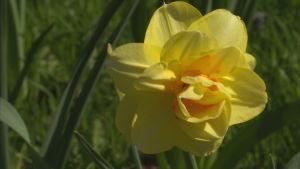 Narcissus Tahiti är en gul blomma med lite orange i mitten