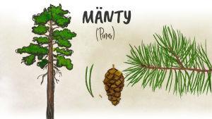 Mänty