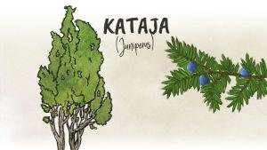 Kataja