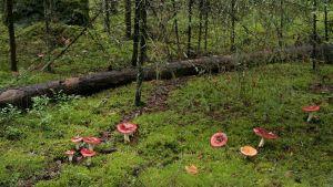 Haperoita Metsässä