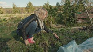 Vaaleahiuksinen nainen kitkee kyykyssä rikkaruohoja palstaviljelmällä. Penkissä kasvaa tilliä, taustalla on vadelmapensaita.