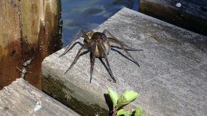 Hämähäkki laiturilla
