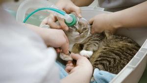 Kissa saamassa lisähappea.