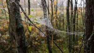 Hämähäkinseitti metsässä.