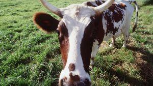 Lehmä laitumella.