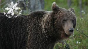 karhu lähikuvassa