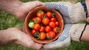 Ihminen ojentaa toiselle kulhollisen tomaatteja.