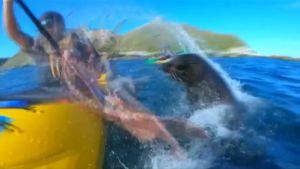 Kanotist utanför den nyzeeländska kusten träffas av bläckfisk.