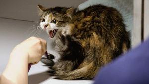 Kissa sähisee eläinlääkärille.