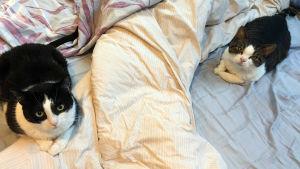Kaksi kissaa vuoteella.
