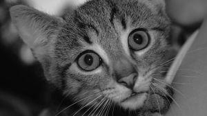 Harmaa kissa.