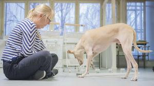 Koulutettu koira haistelee syöpää.