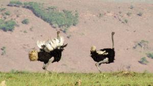 Avara luonto: lentokyvyttämät linnut. Kaksi strutsia
