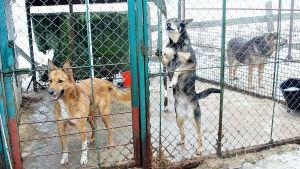 Koiria koiratarhassa.