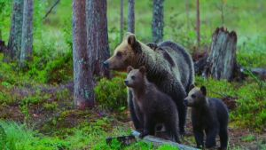 Karhun valtakunta: Karhuperhe