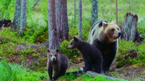 Karhuemo ja kaksi poikasta metsässä